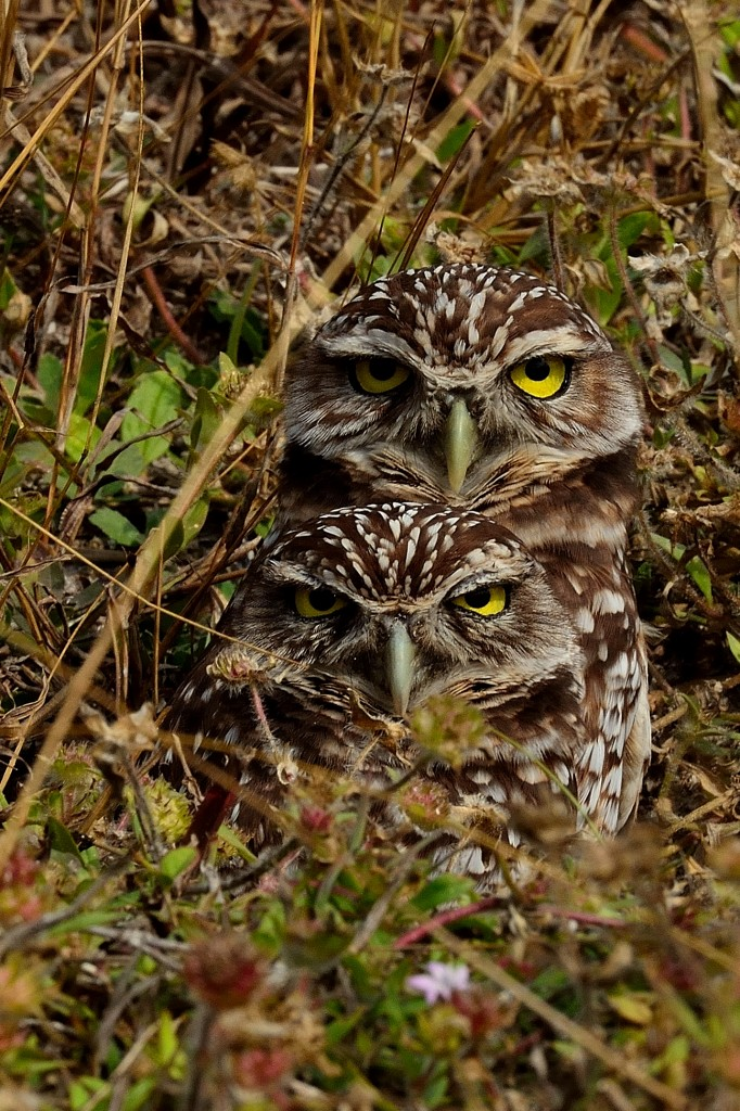 Burrowing owls by Bill Grabinski